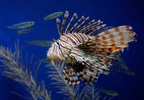 The Lionfish